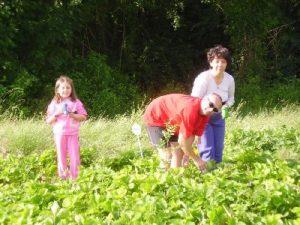 Cueillette à la ferme du Perré, fraise, asperge verte, pomme de terre, maïs doux, marne, 51