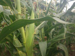 Tarifs maïs doux de la ferme du Perré dans la Marne, Aube, Seine et Marne, Ile de france