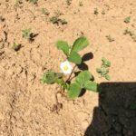Fraiseraie, fraises producteur 51, 10, 77