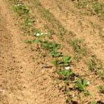 Fraiseraie, fraises producteur Marne, Aube, Seine et Marne