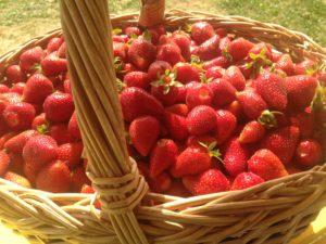 Cueillette de fraise Marne, Aube