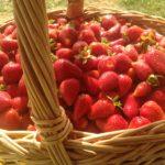 producteur de fraises Marne, Aube, Seine et Marne