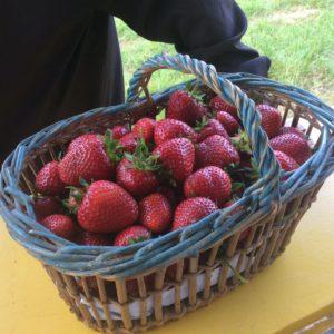 Cueillette de fraise, producteur Marne, aube, Seine et Marne