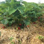 Producteur de fraise Marne