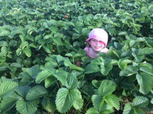 Cueillette de fraise à Esclavolles dans la Marne, 51