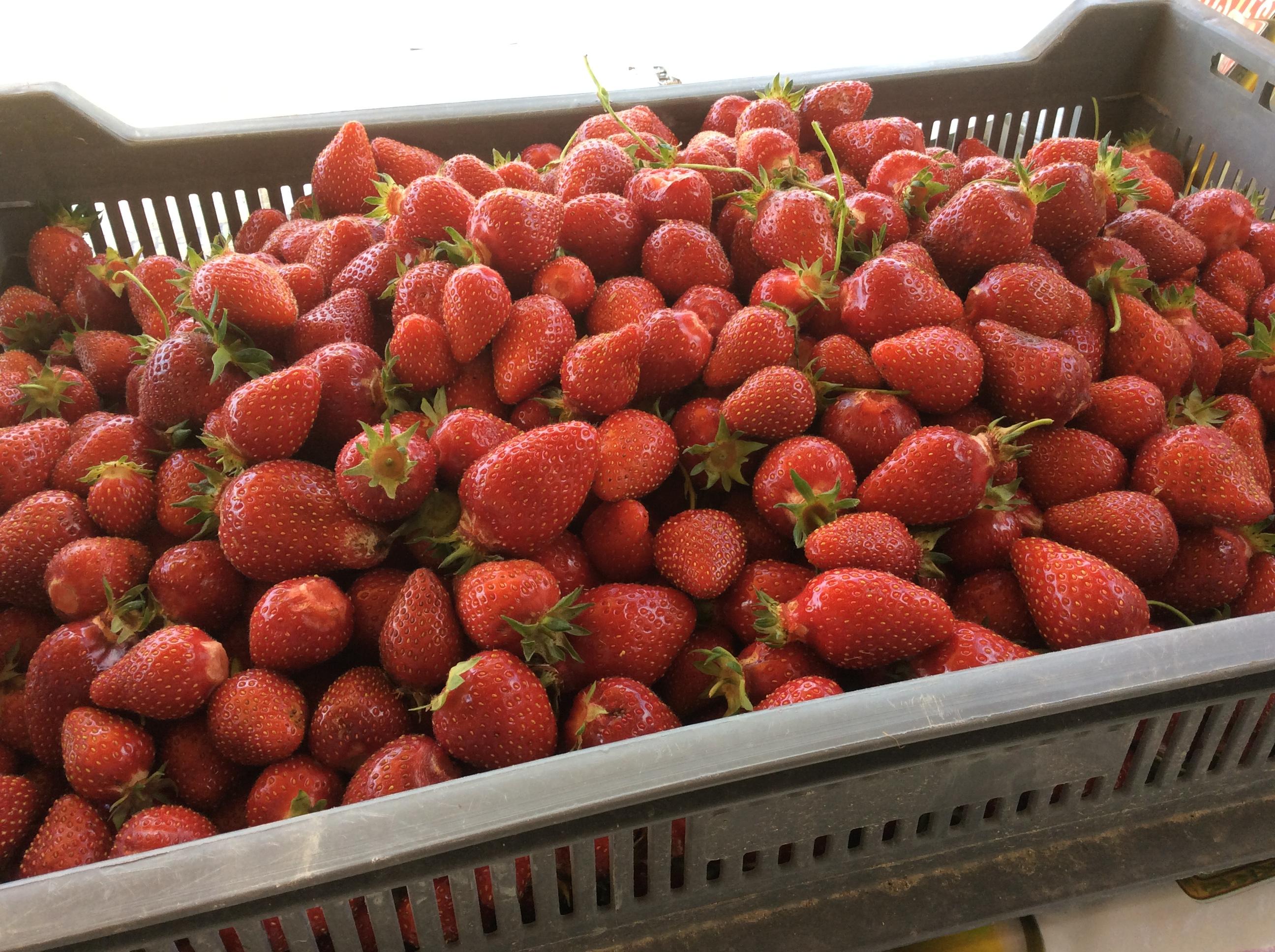 Cueillette de fraise à la ferme à Esclavolles Lurey dans la Marne à proximité de Romilly sur Seine (10)