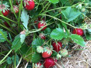 La Ferme du Perré, cueillette de fraise, Esclavolles Lurey, Marne, Aube, Seine et Marne